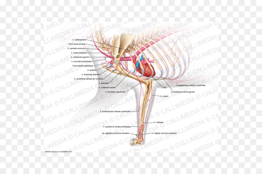 Muscle Human Musculoskeletal System Arm Cat Anatomy Arm